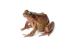 Common brown frog en profile Stock Photo