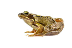 Common brown frog preparing to leap Stock Photo