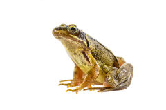 Common brown frog sitting upright preparing to leap Royalty Free Stock Photo