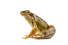 Common brown frog sitting upright Stock Photography