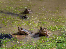 Common brown frogs mating Royalty Free Stock Photography