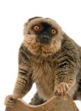 Common Brown Lemur Stock Image