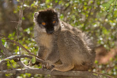 Common Brown Lemur. Wild Common Brown Lemur in Madagascar Royalty Free Stock Image