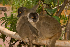 Common Brown Lemur. Wild Common Brown Lemur in Madagascar Royalty Free Stock Photo