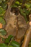 Common Brown Lemur. Wild Common Brown Lemur in Madagascar Stock Photography