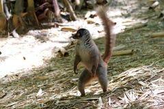 Common brown lemur (Eulemur fulvus) Stock Image