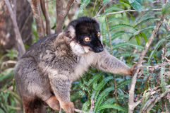 Common Brown Lemur Royalty Free Stock Photography