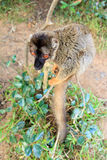Common brown lemur Stock Photography