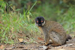 Common brown lemur Royalty Free Stock Photos