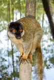 Common brown lemur, lemur island, andasibe Stock Photography