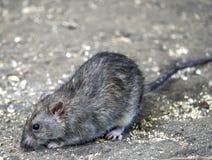 Common brown rat. Brown rat, also referred to as common rat, street rat, sewer rat, Hanover rat, Norway rat, Norwegian rat, or wharf rat,Rattus norvegicus Royalty Free Stock Image