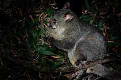 Common Brush-tailed Possum - Trichosurus vulpecula is nocturnal marsupial living in Australia and introducted to New Zealand, eati. Ng eucalyptus leafs on the stock photos