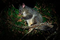 Common Brush-tailed Possum - Trichosurus vulpecula is nocturnal marsupial living in Australia and introducted to New Zealand, eati. Ng eucalyptus leafs on the Royalty Free Stock Images