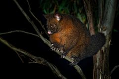 Common Brush-tailed Possum - Trichosurus vulpecula -nocturnal, semi-arboreal marsupial of Australia, introduced to New Zealand.  stock photos