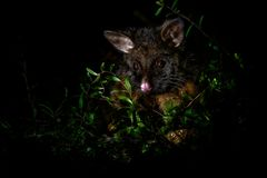 Common Brush-tailed Possum - Trichosurus vulpecula -nocturnal, semi-arboreal marsupial of Australia, introduced to New Zealand.  royalty free stock photography