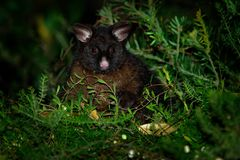 Common Brush-tailed Possum - Trichosurus vulpecula -nocturnal, semi-arboreal marsupial of Australia, introduced to New Zealand.  royalty free stock images