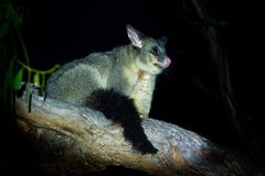 Common Brush-tailed Possum - Trichosurus vulpecula -nocturnal, semi-arboreal marsupial of Australia, introduced to New Zealand.  stock photography