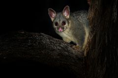 Common Brush-tailed Possum - Trichosurus vulpecula -nocturnal, semi-arboreal marsupial of Australia, introduced to New Zealand.  royalty free stock image