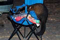 Common Brush-tailed Possum - Trichosurus vulpecula -nocturnal, semi-arboreal marsupial of Australia, introduced to New Zealand. Stealing food in the campsite royalty free stock photo