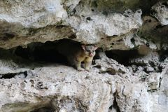 Common brushtail possum in the caves of Umpherston Sinkhole in Mount Gambier, Australia. The common brushtail possum is a nocturnal, semi-arboreal marsupial of Royalty Free Stock Photography