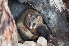 Common Brushtail Possum Stock Photography