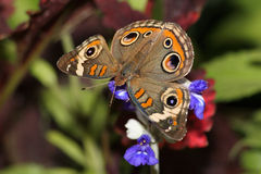 Common Buckeye Stock Photography