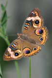 Common Buckeye Stock Images