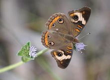 Common Buckeye Butterfly Royalty Free Stock Photography