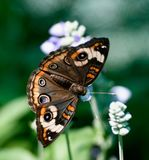 Common Buckeye Butterfly Royalty Free Stock Photos