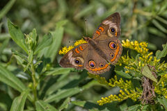 Common Buckeye Butterfly Stock Photography