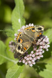 Common Buckeye Butterfly on Camphorweed. This is a common buckeye butterfly, Junonia coenia, sipping nectar from the Alabama wildflowers Camphorweed, Pluchea royalty free stock images