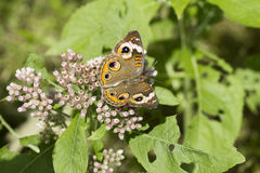 Common Buckeye Butterfly and Camphorweed. This is a common buckeye butterfly, Junonia coenia, sipping nectar from the Alabama wildflowers Camphorweed, Pluchea stock image