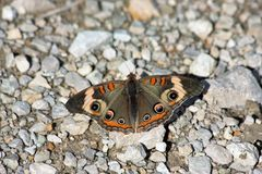 Common Buckeye Butterfly Close-Up. A common buckeye butterfly resting on white rocks on the ground royalty free stock images