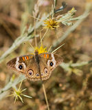 Common Buckeye butterfly feeds from a yellow flower Royalty Free Stock Photo