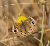 Common Buckeye butterfly feeds from a yellow flower Royalty Free Stock Image