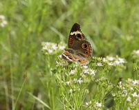 Common Buckeye Butterfly in Field. A beautiful common buckeye butterfly resting on white wildflowers in a green country field royalty free stock images