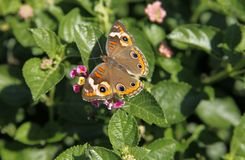 The common buckeye butterfly. royalty free stock images