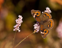 Common Buckeye butterfly (Junonia coenia) Royalty Free Stock Photos