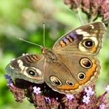 Common buckeye butterfly Junonia coenia sipping nectar on verbena bonariensis wildflower royalty free stock photography