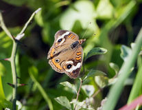 Common Buckeye Butterfly on low vegetation. The common buckeye or buckeye, Junonia coenia, is a butterfly in the family Nymphalidae.   Its habitat is open areas Stock Image