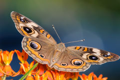 Common Buckeye Butterfly on an Orange Flower. Orange, and Blue Common Buckeye Butterfly on an Orange Flower with it's wings spread and a nice blue and green Royalty Free Stock Photography