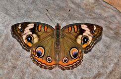 Common Buckeye butterfly resting on the ground. royalty free stock photography