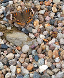 Common Buckeye Butterfly on Stones Stock Image