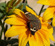 A common buckeye butterfly on a sunflower Stock Images