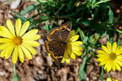 Common Buckeye butterfly on yellow flower. Common Buckeye butterfly stopping on the center blossom of a row of yellow flowers in Phoenix, Arizona Stock Photos