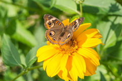 Common Buckeye (junonia coenia). Brown butterfly on a yellow flower. It is identified by its bold pattern of eyespots and white bars Royalty Free Stock Image