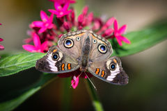 Common Buckeye Junonia Coenia Stock Photography