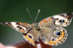 Common Buckeye Junonia Coenia Royalty Free Stock Photos