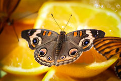 Common Buckeye Junonia Coenia Royalty Free Stock Image