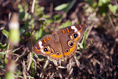 Common Buckeye Royalty Free Stock Photo